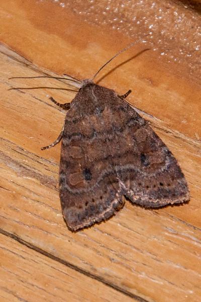Sallow - Puta - (Anathix puta) - Dunning Lake - Itasca County, MN