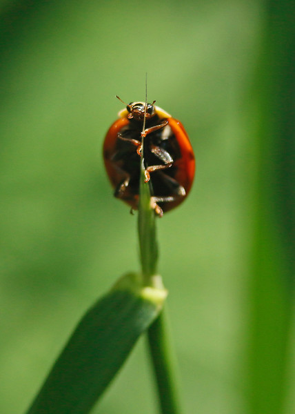 A Ladybird climbs a blade of grass