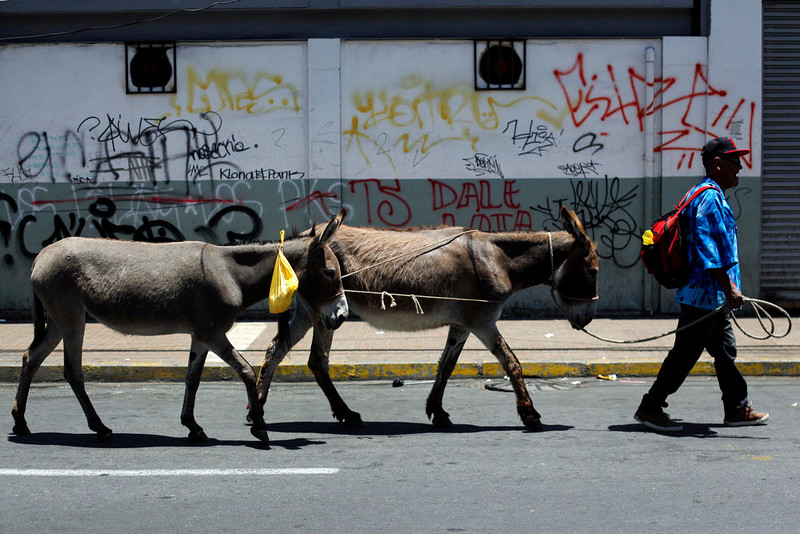 . In this Dec. 15, 2014 photo, Marco Alegria leads his donkeys along a street, selling their milk on the spot for paying customers in Santiago, Chile, Monday, Dec. 15, 2014. Alegria is a different sort of milk man. For a quarter century or more, he and his brother Ricardo have led donkeys through the streets of Chileís capital, milking them on the spot for customers. (AP Photo / Luis Hidalgo)