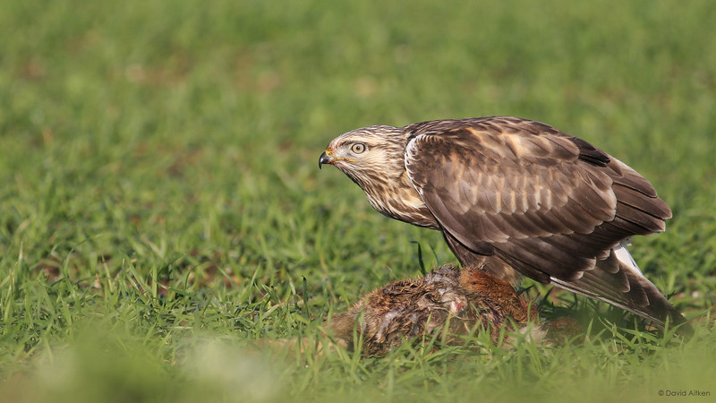 Rough-legged Buzzard - Grindale, Yorkshire 04/11/14