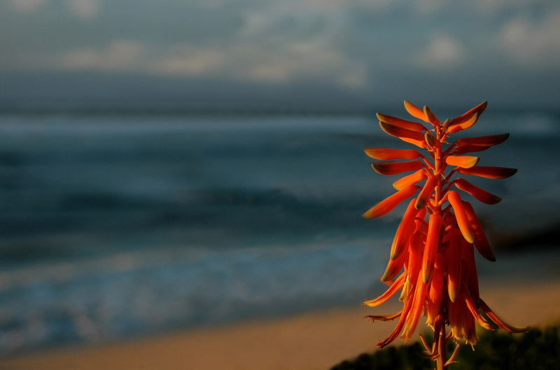 Silhouette of Aloe vera against the coral and orange sky and the blue ocean at sunsetSunset Point on the North Shore of Oahu, Hawaii