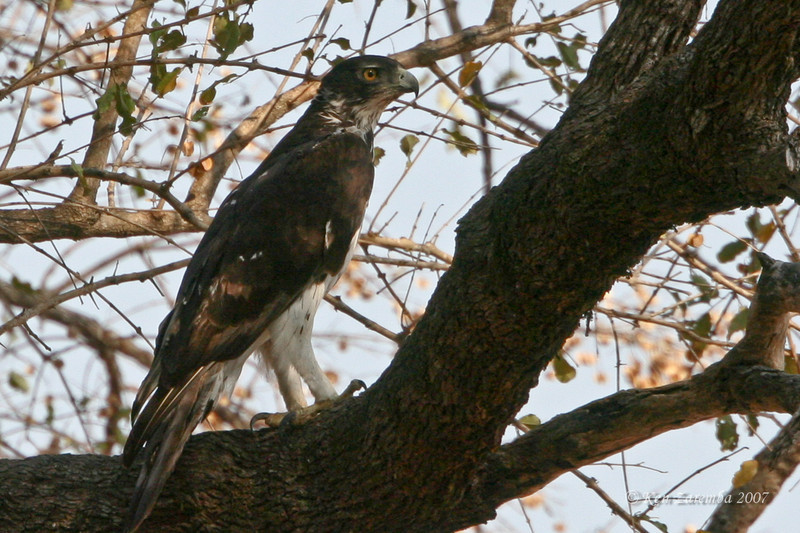 African Hawk-eagle  Mala Mala Game Reserve, South Africa