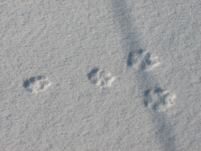 20080302 European Hare Tracks