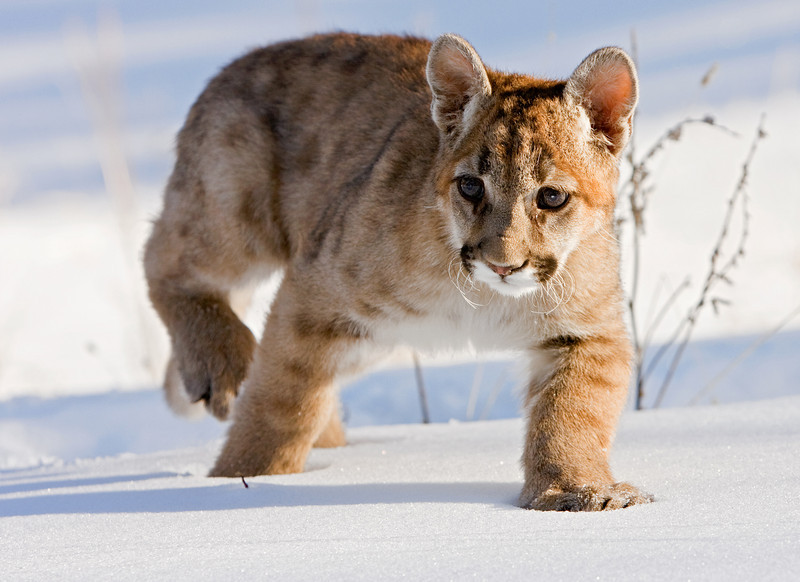 The young cougar sees something interesting in the snow.