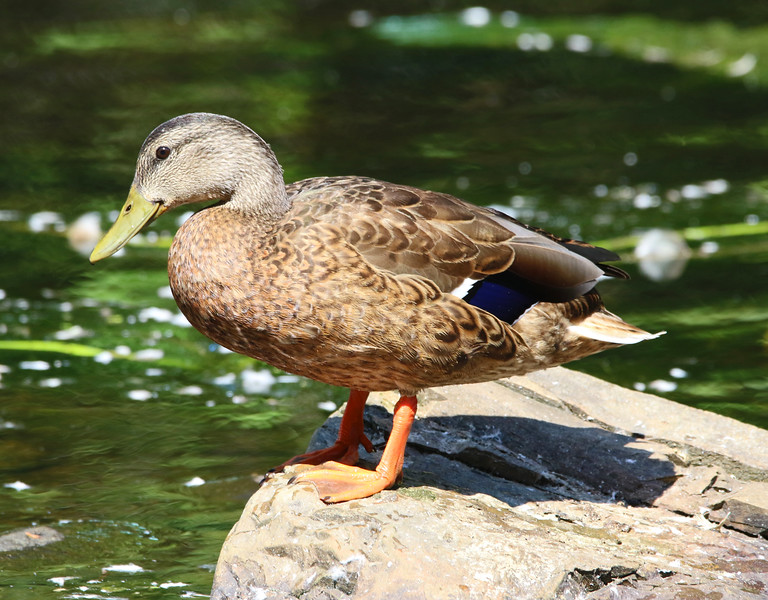female mallard duck_edited-1.jpg