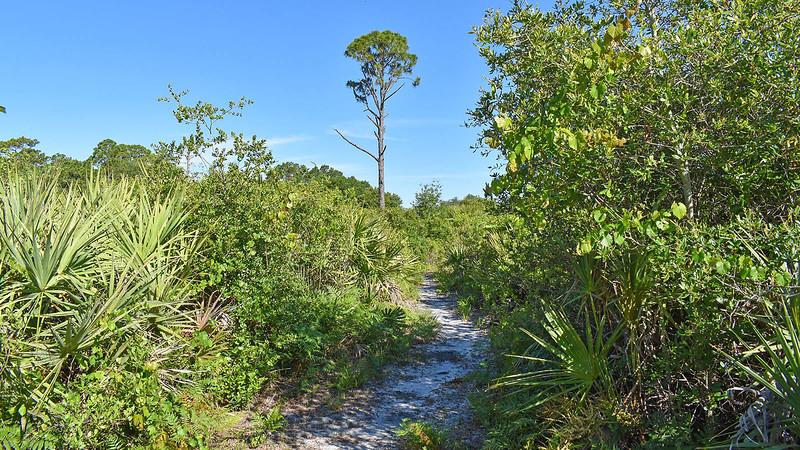 Footpath leading towards a tall pine