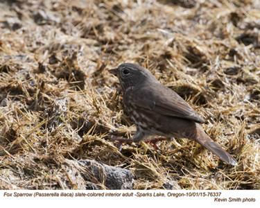 Fox Sparrow A76337.jpg