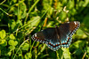 The Incredible Red-Spotted Purple Limenitis Arthemis Astyanax Butterfly.<br /> Photo taken at Minnesota Landscape Arboretum 7/28/2014.