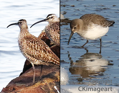 Whimbrel and Dunlin