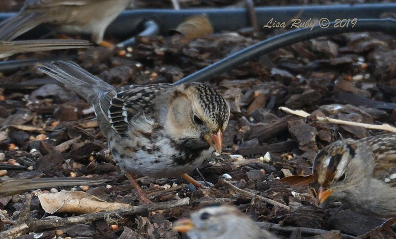 Harris's Sparrow - 2/28/2019 - Backyard Sabre Springs