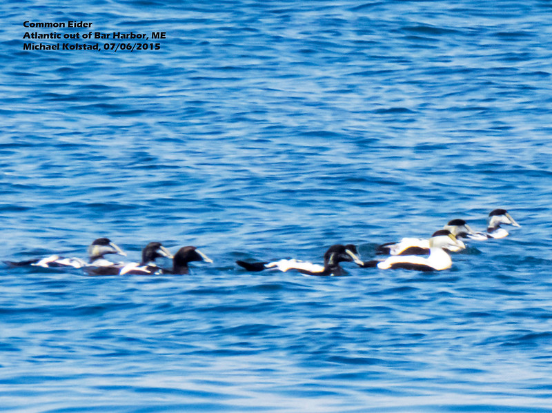 a706 1144 20150725_136 3T crp large raft of Common Eider Atlantic out of Bar Harbor 706 1304.jpg