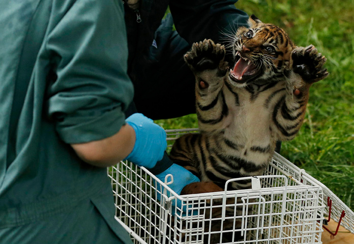 . A Sumatran tiger cub, age eight weeks, snarls as it is lifted by veterinary staff during a health check  at Chester Zoo in northern England July 31, 2013. REUTERS/Phil Noble