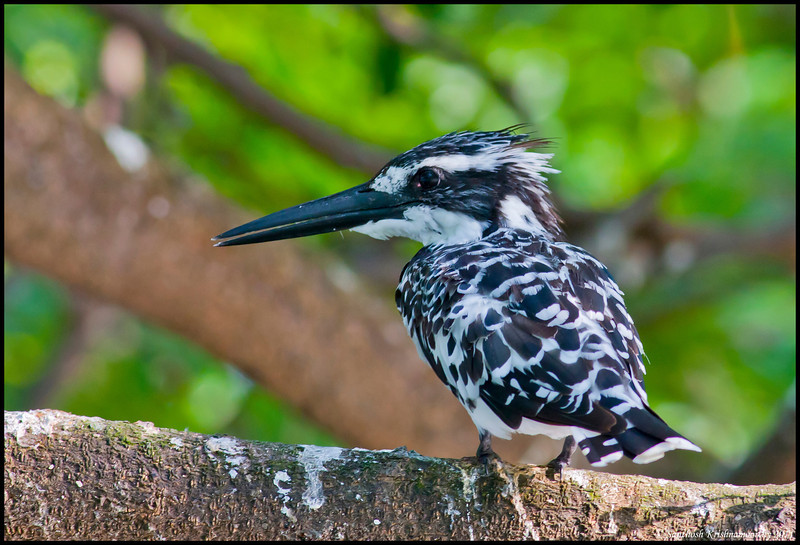 Pied Kingfisher.....