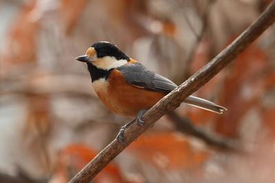 East Asian Birds