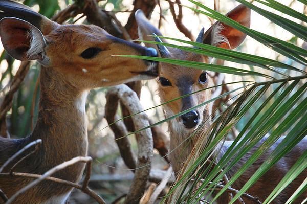 Kruger Bushbuck