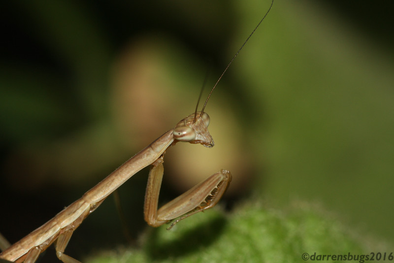 Freshly-molted Chinese mantis nymph (Tenodera sinensis) from Iowa.