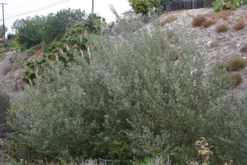 Arroyo Willow, Salix lasiolepis