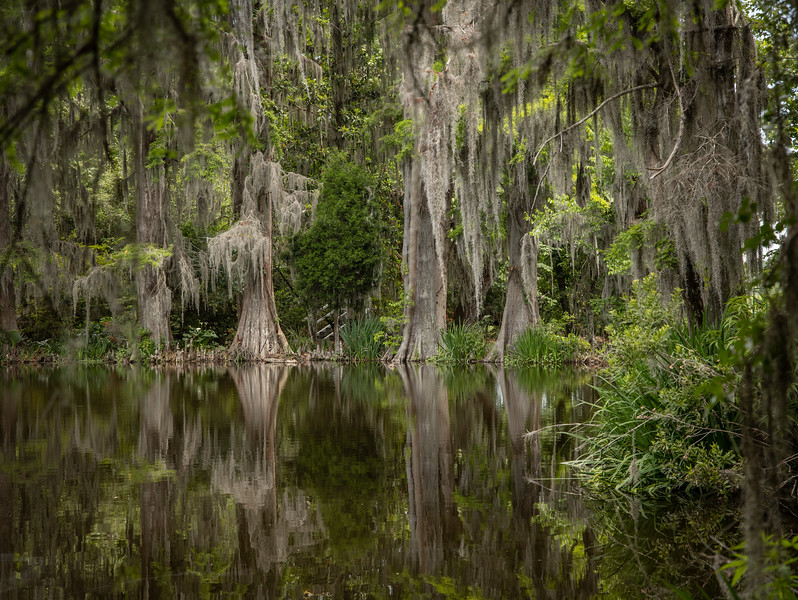 Bald cypress and spanish moss