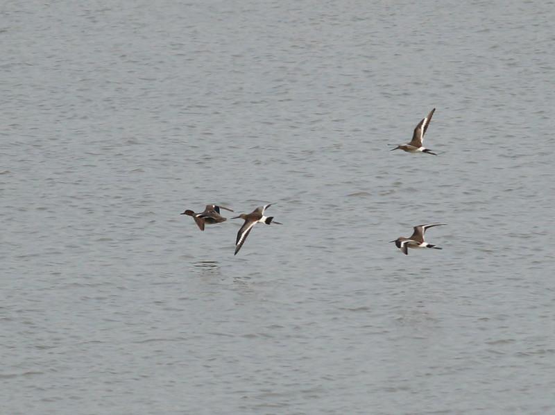 Mystery birds   Netherlands 2014 06 26-4.JPG