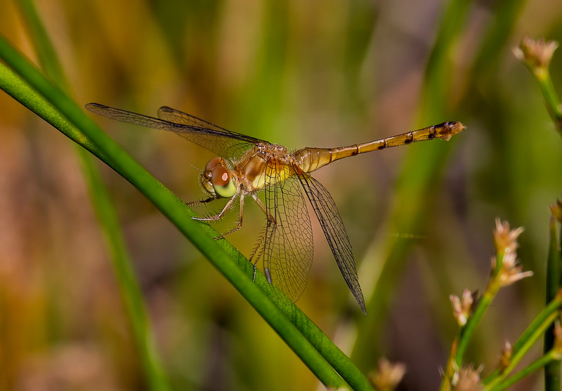 Immature Female, Summit Bridge Ponds