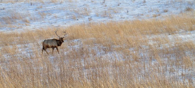Elk bull Neal Smith National Wildlife Refuge NWR Prairie City IA  IMG_2303.jpg
