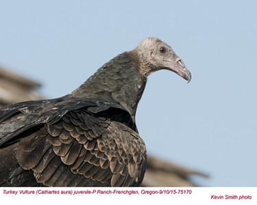 Turkey Vulture J75170.jpg