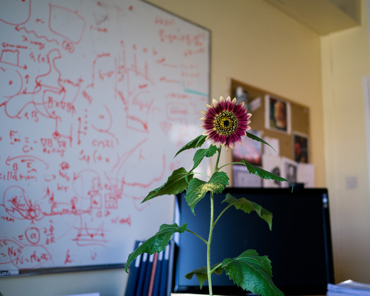 Office Sunflower