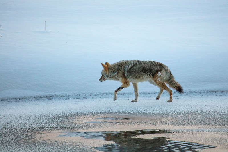 387A9806 Fishing Coyote by Madison rv.jpg