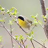 Common Yellowthroat<br /> Buttercup West