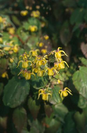 Epimedium davidii EMR 4125