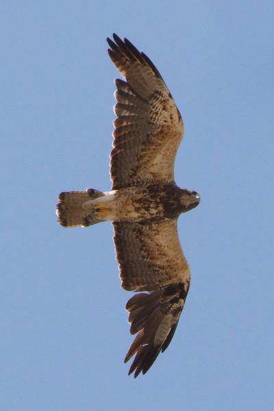 Swainson's Hawk light morph second summer (2) at Firebaugh, CA (07-18-2009)