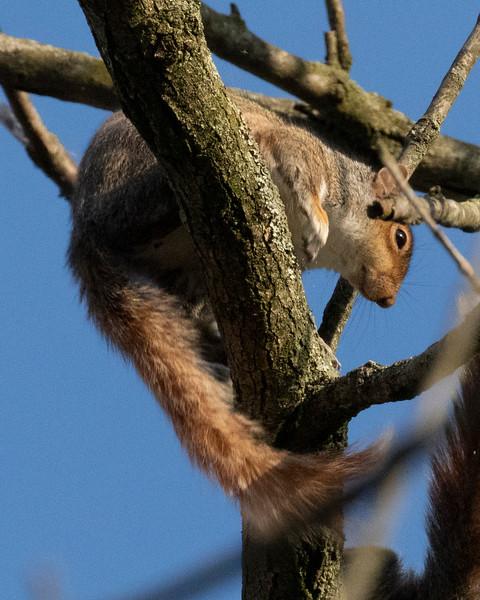 Frisky Grey Squirrels