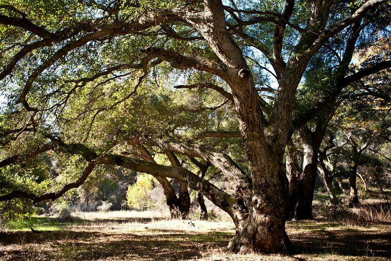oaktreesRGB.jpg