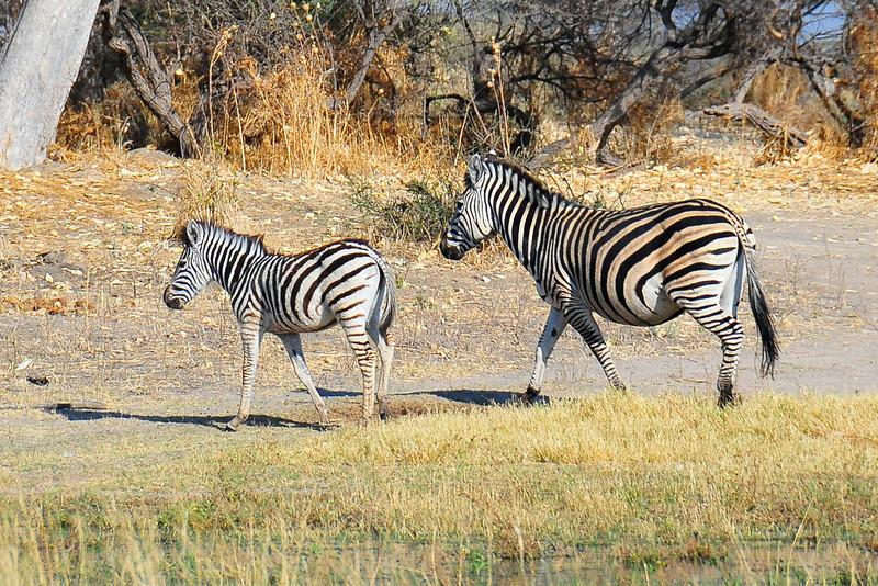 EPV1290 Mother and Child Zebra.jpg