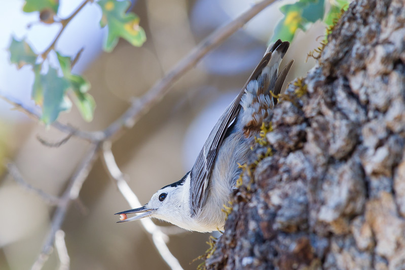 White-breasted Nuthatch - Photo by Leena Khanzodé - Mines Road, CA, USA
