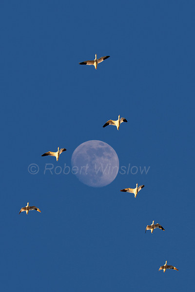 Snow Geese, Chen caerulescens, Flying in Front of Moon, Bosque del Apache National Wildlife Refuge, New Mexico, USA, North America, two images