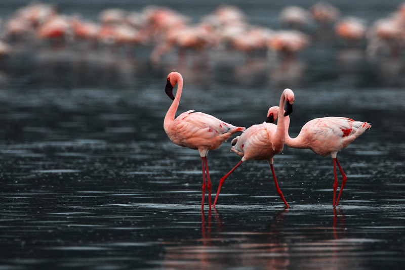 Lesser Flamingo-Kenya