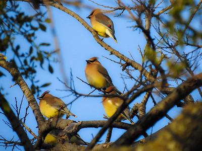 Yellow & Tan Birds
