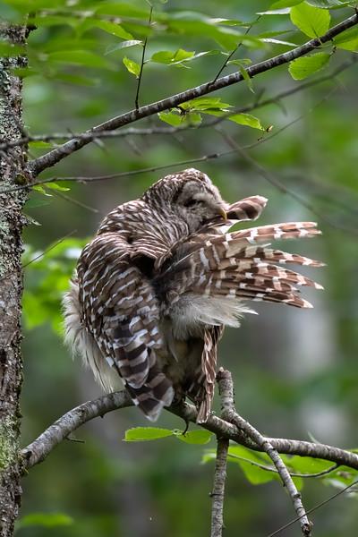 #1451 Barred Owl