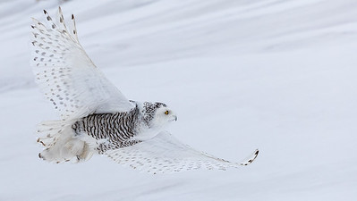 Snowy Owls in Ontario February 2017