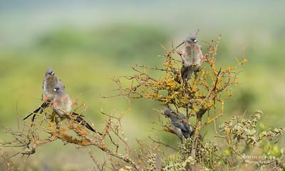 White-backed Mousebird (Colius colius)