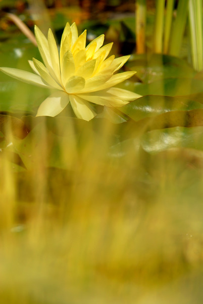 yellow water lily shooting  through.jpg