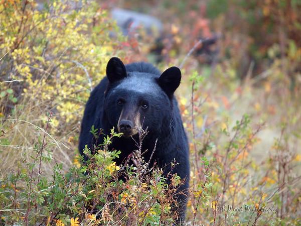 Black Bears