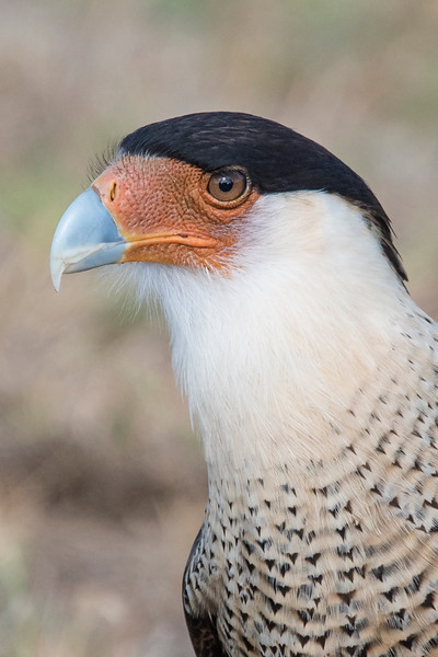 Crested Caracara - adult - Laguna Seca Ranch-Edinburg, TX