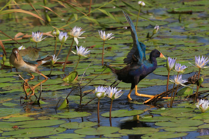 zAnahuac 8-21-14, Old T3i, 100A, juvenile Purple Gallinule with adult (1 of 1).jpg
