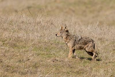 Los Vaqueros Coyote 012818