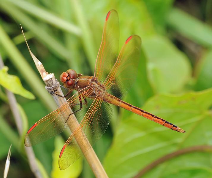 Libellula auripennis (Golden-winged Skimmer), GA - male