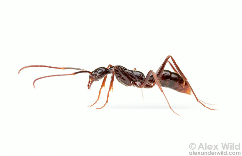 Leptogenys camerunensis, at  over 1cm in length (excluding the antennae), is one of the largest species in the genus.  Kibale forest, Uganda
