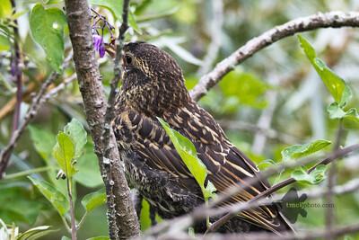 Red-Winged Blackbird_2019-07-16_4