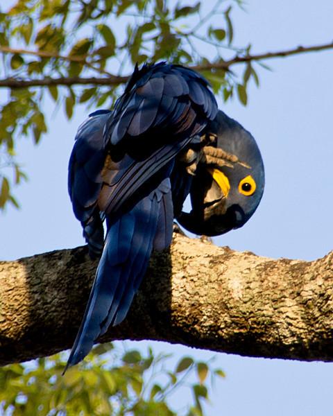 Hyacinth Macaw, Northern Patanal, Brazil